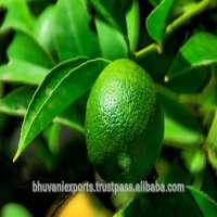 Fresh Lime  Manufacturer