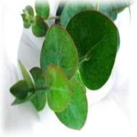 eucalyptus oil aroma  Manufacturer
