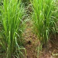 Lemon grass essential oil Manufacturer